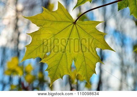 Young Maple Leaf Close-up In The Woods