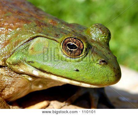 Frosch-Kopf