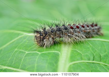 Gypsy moth caterpillar crawling on young leaves poster