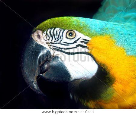 Papagei Kopf