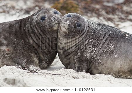 Elephant Seal Pups