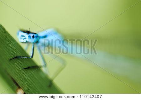 Eurasian Bluet