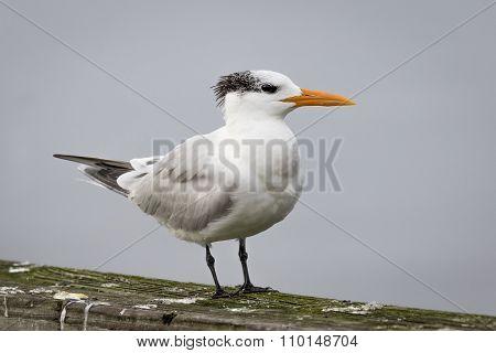 Royal Tern Perched On A Railing - Georgia