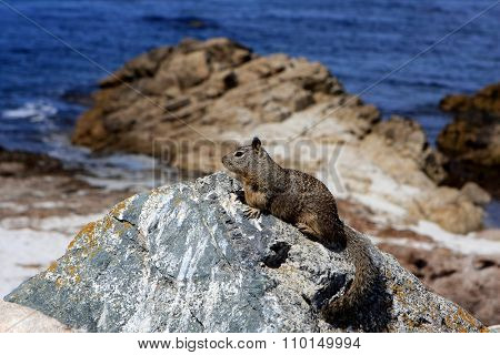 Ground squirrel at 17 Mile Drive, Pebble Beach, California