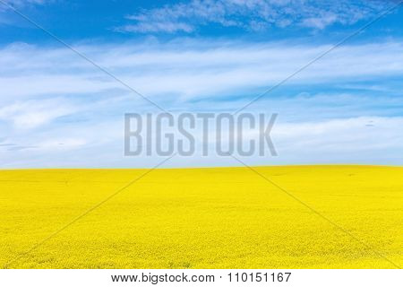 Yellow Canola Flower and blue sky in Palouse Washington State