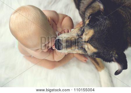 German Shepherd Pet Dog Kissing Baby
