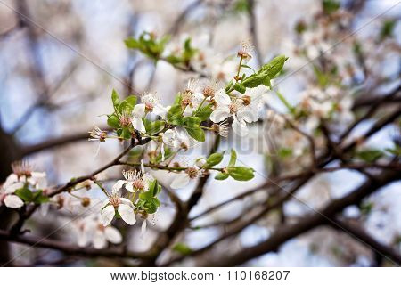 Cherry Blossoms Over Blurred Nature Background, Spring Flowers