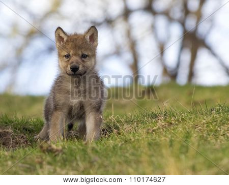 Young grey wolf pup