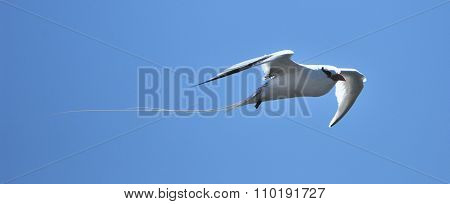 Red-billed Tropicbird (Phaethon aethereus) in sky on galapagos island. Red-billed tropicbird seabird of tropical oceans
