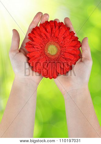 Dewy red gerbera flower in hands