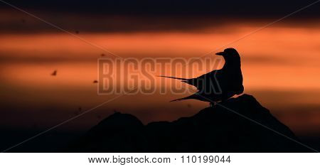 Silhouette Of Common Terns On Red Sunset