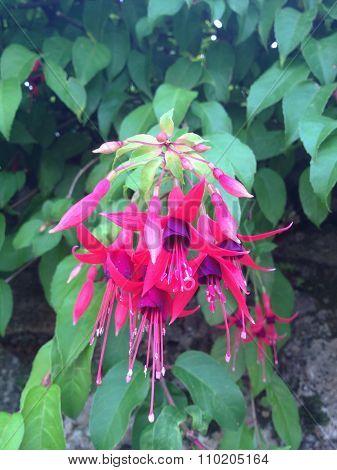 Flower: lady's-eardrop