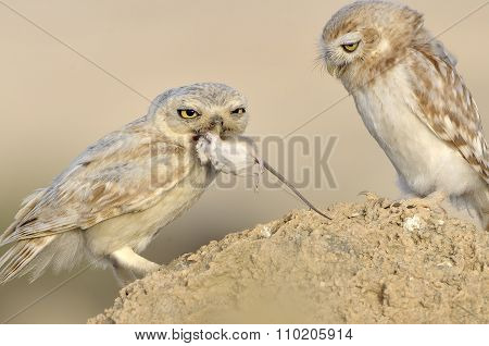 Lilith Owl with Chick