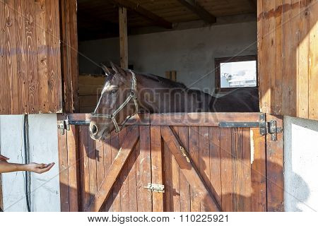 English Thoroughbred Racehorse In Box 03