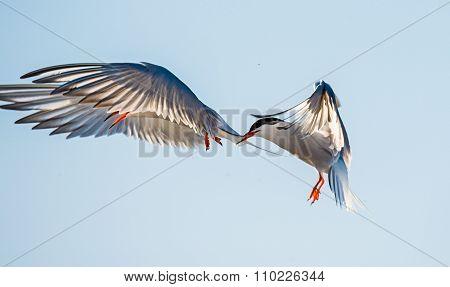 The Tern Flies Holding A Beak A Tail Of Other Tern. Closeup Portrait Of Common Terns (sterna Hirundo