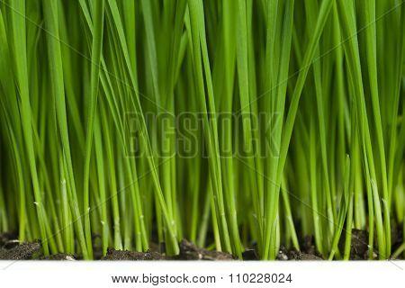 Fresh Green Wheatgrass