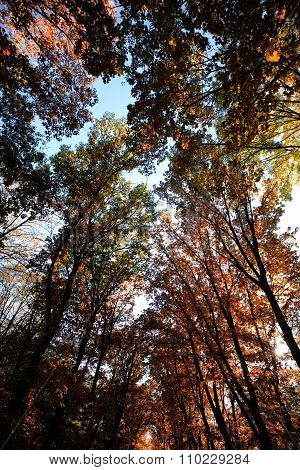 Indian Summer Golden-leaved Trees