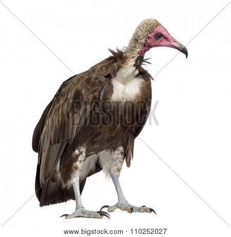 Hooded vulture - Necrosyrtes monachus (11 years old) in front of a white background
