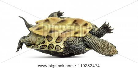 Chinese stripe-necked turtle (1 year old), Ocadia sinensis, on its back in front of a white background