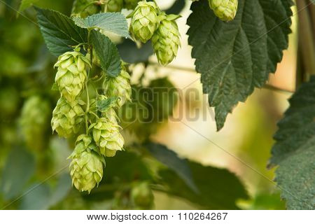Hop Cones In The Hop Field