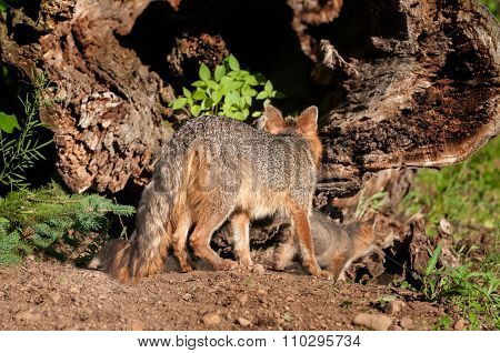 Grey Fox Vixen (urocyon Cinereoargenteus) And Kit Investigate Hollow Log