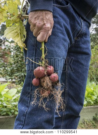 Man With Homegrown Red Potatoes In Urban Garden