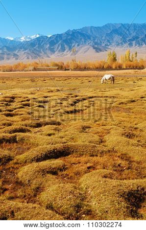 Horse eating grass at Holy Fish Pond, Shey Monastery, Leh Ladakh, India.