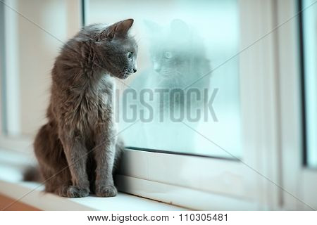 Russian blue cat stare out the window