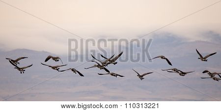 Flock Of Geese Flying.