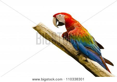 Beautiful Macaw Bird