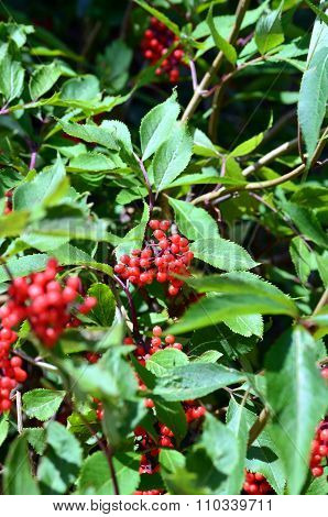 Rowan Berries, Sorbus Aucuparia
