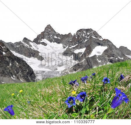 Beautiful mountain Gabelhorn in the foreground blooming gentian, Pennine Alps, Switzerland