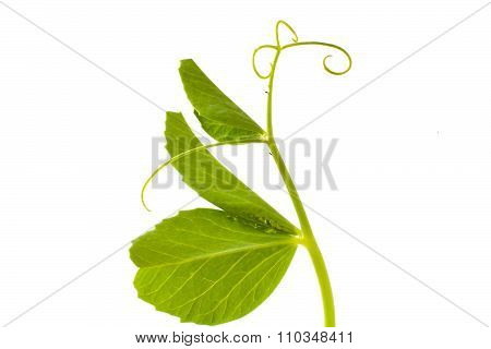Pea Leaf With Tendril On White