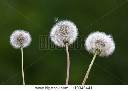 Three Dandelions On Blurred Background