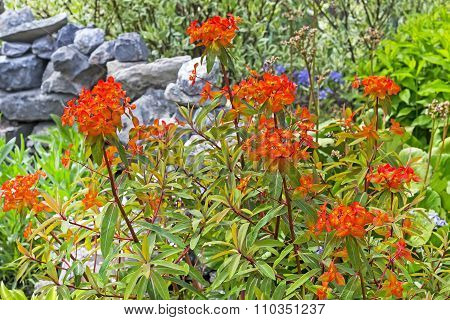 Blooming garden spurge