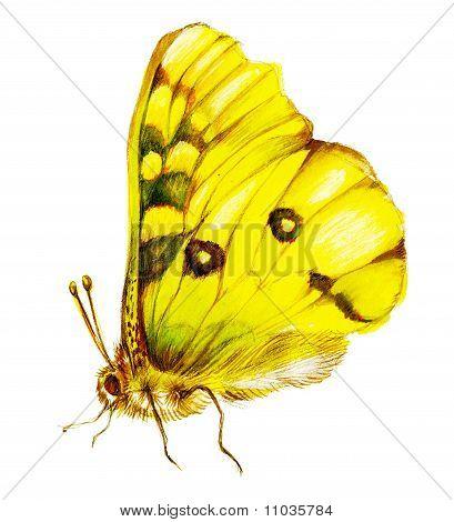 Yellow Lepidoptera