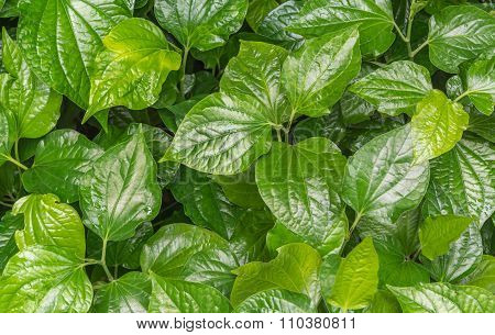 Eat Betel Leaf As Medicine