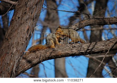 Squirrels Tussling in a Tree