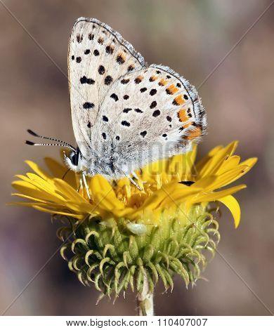 California Hairstreak butterfly on Daisy flower