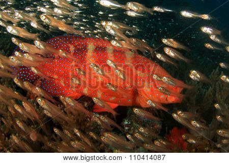Coral Grouper fish