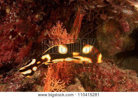 Juenile Sweetlips fish