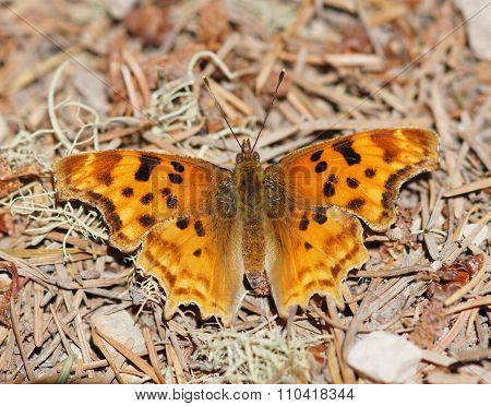 Satyr Comma (Polygonia satyrus) Satyr Comma perched on woodland floor. Point Reyes National Seashore, Marin County, California, USA. poster