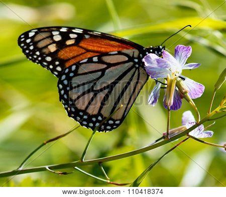 Monarch butterfly drinks flower nectar
