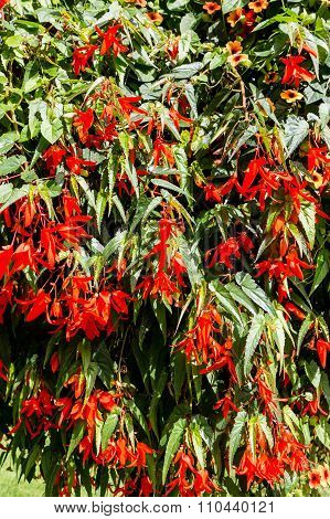 Brilliant Red Flowers On Green Foliage