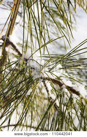 Snow On Needles