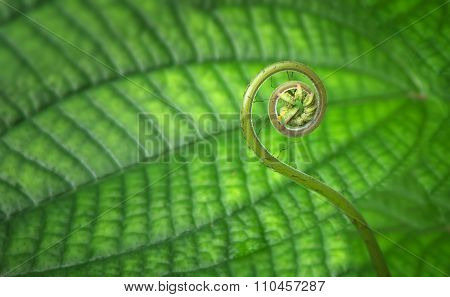 Young Tropical Spiral Fern Close-up