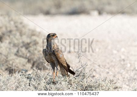 Pale Chanting Goshawk sitting on bush seen at eosha national park in namibia africa poster