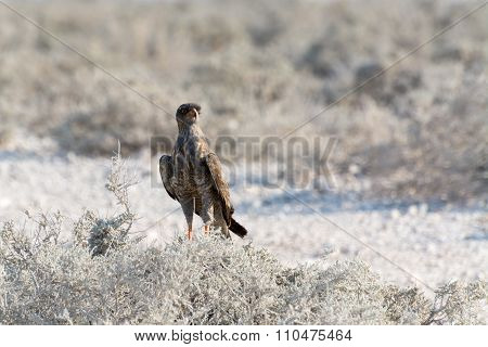 Pale Chanting Goshawk Sitting On Bush