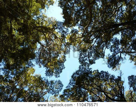 Beech trees forest canopy with blue sky