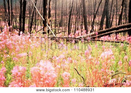 Blooming Fireweed After Wildfire